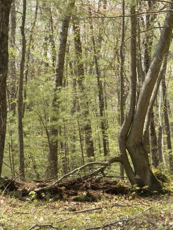 Trees Growing over a Decomposing Nurse Log in the Eastern Deciduous Forest, New England, USA