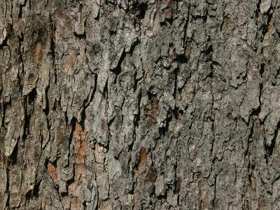 Horsechestnut Bark (Aesculus Hippocastanum), Eastern USA
