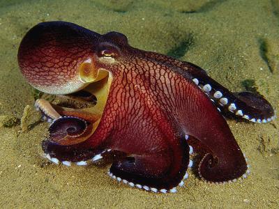 Warning Display of the Veined Octopus. (Octopus Marginatus) Indonesia
