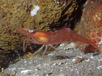 Yellowleg Shrimp (Pandalas). Rocky Coast, Alaska to California, USA