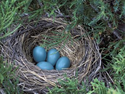 Robin Nest with Eggs, Turdus Migratorius, USA