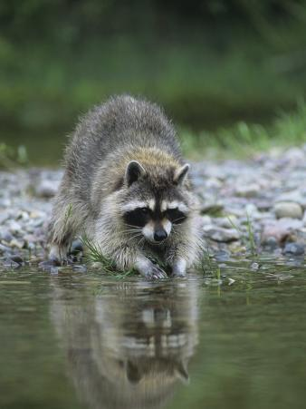 Raccoon Washing its Hands and Food, Procyon Lotor, North America
