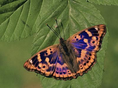 Female Lesser Purple Emperor Butterfly (Apatura Ilia), Family Nymphalidae, Japan