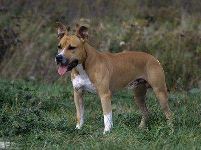 American Staffordshire Terrier Variety of Domestic Dog