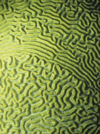Symmetrical Brain Coral, Diploria Strigosa, with Zooanthellae or Symbiotic Algae, Belize, Caribbean