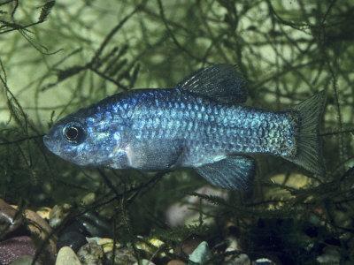 Desert Pupfish, an Endangered Species (Cyprinodon Macularius). Southwestern USA