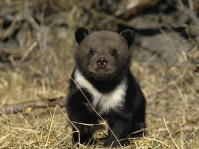 Grizzly Bear Six Week-Old Cub Near its Den, Ursus Arctos, North America