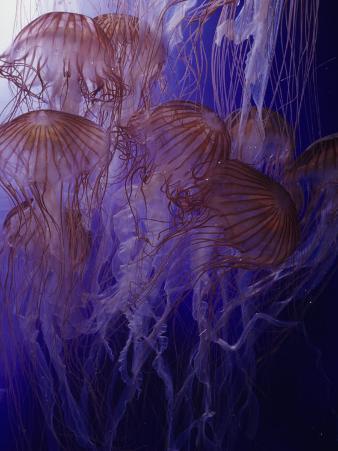 Northern Sea Nettle Jellyfishes (Chrysaora Melanaster), Japan to the Bering Sea