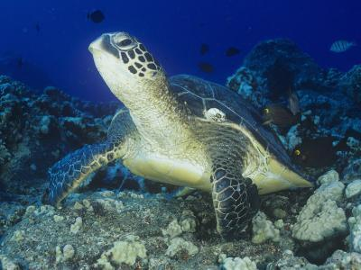A Green Sea Turtle (Chelonia Mydas) on a Coral Reef, Kona Coast, Big Island, Hawaii, USA