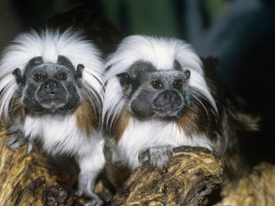 Cotton-Top Tamarins (Saguinus Oedipus), a New World Rainforest Primate, Columbia, South America