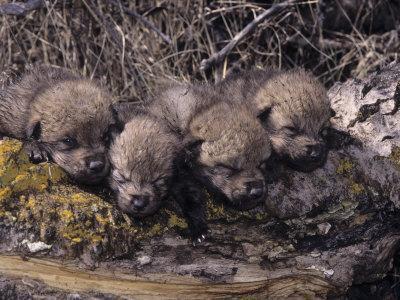 Gray Wolf Pups at the Den (Canis Lupus), Montana, USA