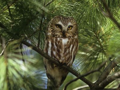 Northern Saw-Whet Owl (Aegolius Acadius) in a White Pine (Pinus Strobus), North America