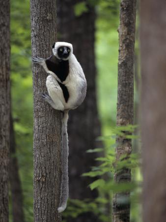 Coquerel's Sifaka, Propithecus Verreauxi Coquereli, a Type of Lemur from Madagascar, Africa