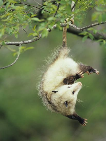 An Opossum Hangs By Its Tail In Black Cherry Tree Ohio