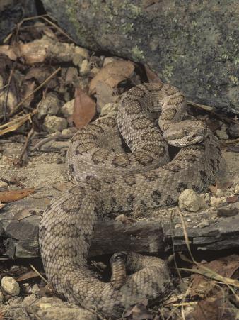 Midget Faded Rattlesnake, Crotalus Viridis Concolor, Southwestern USA