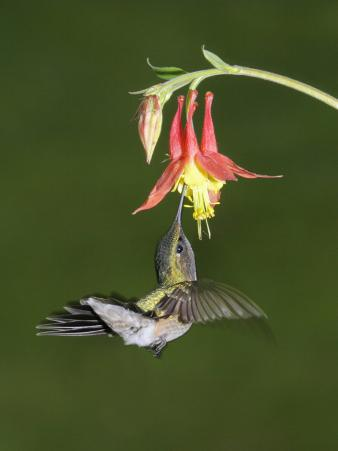 Female Ruby-Throated Hummingbird, Archilochus Colubris, Feeding at a Columbine Flower, Aquilegia