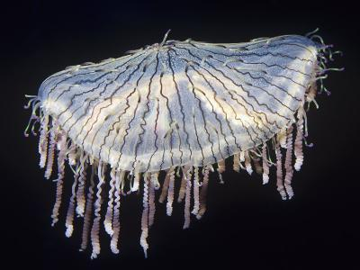 Flower Hat Jelly (Olindias Formosa), Sea of Japan