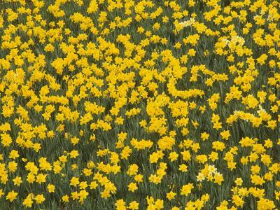 Field of Narcissus Flowers, Narcissus Pseudonarcissus, Louisville, Kentucky, USA