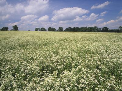 Large Field of Daisy Fleabane, Erigeron Philadelphicus, Near Lexington, Kentucky, USA