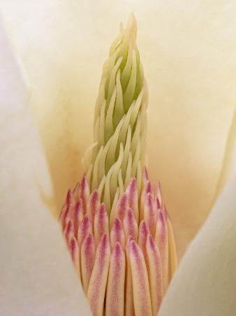 Yulan Magnolia Flower Parts, Magnolia Denudata, Originally from China