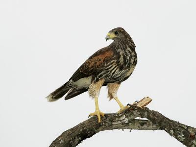 Juvenile Harris's Hawk, Parabuteo Unicinctus, Western USA