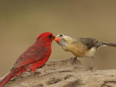 Northern Cardinals, Cardinalis Cardinalis, Food Exchange During the Breeding Season. Eastern USA