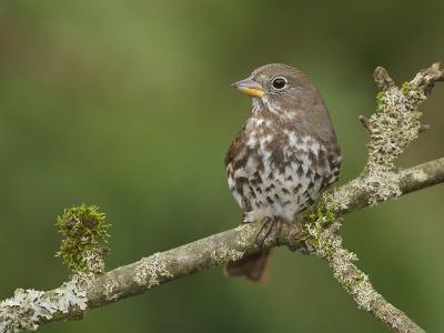 Fox Sparrow (Passerella Iliaca) Perched on a Branch, Victoria, BC, Canada