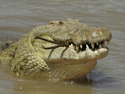 Nile Crocodile, Crocodylus Niloticus, Eating a Grant Gazelle, Masai Mara, Kenya, East Africa