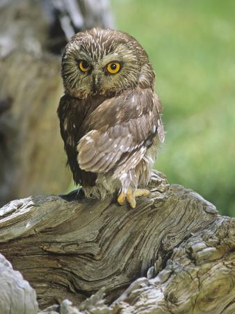 Northern Saw-Whet Owl, Aegolius Acadius, North America