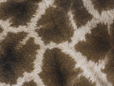Close Up of the Color Pattern on Reticulated Giraffe Fur (Giraffa Camelopardalis Reticulata)