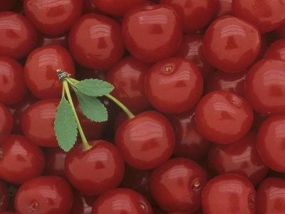 Pie Cherry Harvest, 'Bali', (Prunus Cerasus)