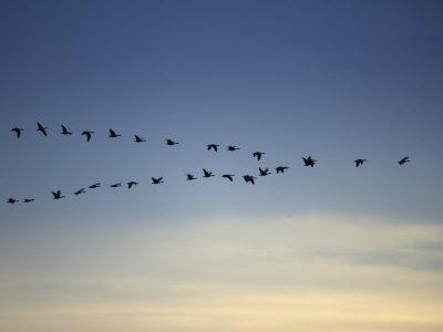 Canada Goose Flying in a V Formation (Branta Canadensis)