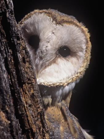 Barn Owl Face Peering from Behind a Tree Trunk, Tyto Alba, a Threatened Species, North America