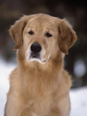 Golden Retriever Breed of Domestic Dog