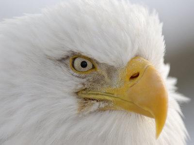Bald Eagle (Haliaeetus Leucocephalus). the National Bird of USA