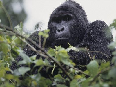 Male Mountain Gorilla, Gorilla Gorilla, an Endangered Species, Bwindi Forest, Uganda, Africa