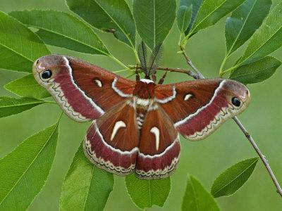 Cecropia Moth Adult Male (Hyalophora Euryalis)