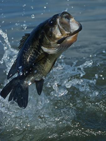 Largemouth Bass Jumping, Diving for Lure