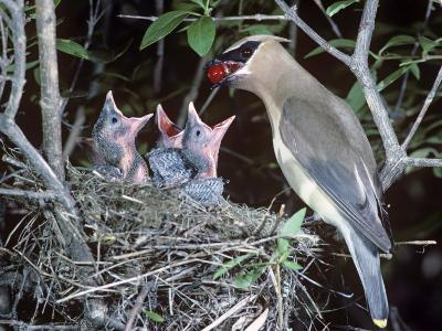A Cedar Waxwing Feeding a Berry to its Nestlings.