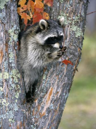 Raccoon (Procyon Lotor) in its Den in a Hollow Maple Tree (Acer), North America