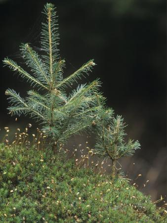 Young Spruce Trees, Picea, Growing Among Mosses, Bavarian Forest, Germany, Europe