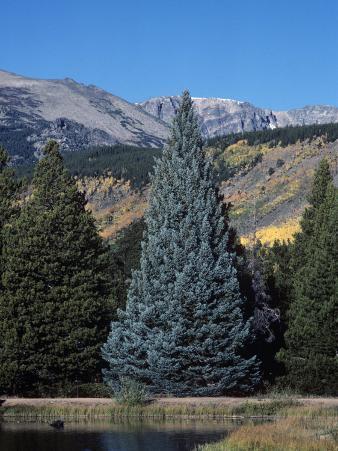 Colorado Blue Spruce (Picea Pungens), Colorado State Tree, Rocky Mountains, Colorado, Usa.
