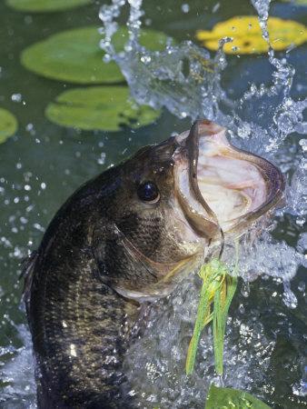 Largemouth Bass, Weedless Jig