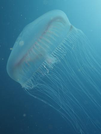Sea Jelly or Jellyfish Hydromedusa, Aequorea Victoria