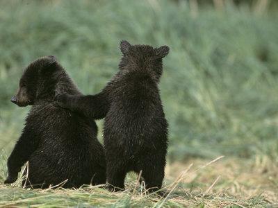 Brown Bear Cubs (Ursus Arctos) in Alaska