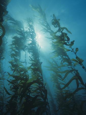Giant Kelp Forest, Macrocystis Pyrifera, Central California, USA