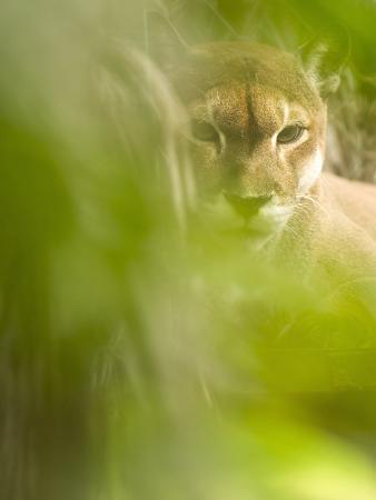 Cougar or Mountain Lion (Puma Concolor), Costa Rica
