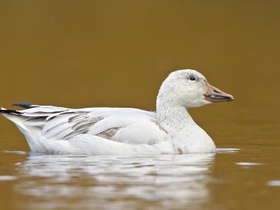 Snow Goose (Chen Caerulescens) Swimming on a Pond, Victoria, BC, Canada