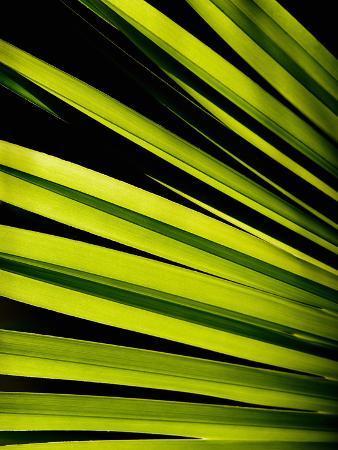 Leaf of Panama Hat Palm (Carludovica), Costa Rica
