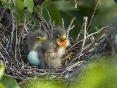 Green Heron (Butorides Virescens) Chicks in Nest and One Unhatched Egg, Florida, USA
